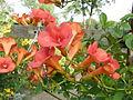 Campsis × tagliabuana (6144644151).jpg