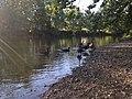 Canada Geese (34949525794).jpg