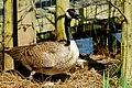 Canada Goose on Eggs (5604354344).jpg