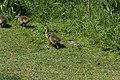 Canada goose - Branta canadensis (41257773424).jpg