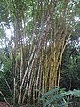 Canne di Bambu - panoramio.jpg