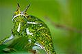 Canopy Chameleon (Furcifer willsii) (10313742675).jpg
