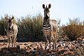 Cape mountain Zebra-1742 - Flickr - Ragnhild & Neil Crawford.jpg