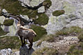 Capra ibex -Ceresole Reale, Turin Province, Italy-8 (2).jpg
