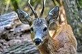 Capriolo (Capreolus capreolus) - European roe deer, SantAlessio, Italia, 08.2018.jpg