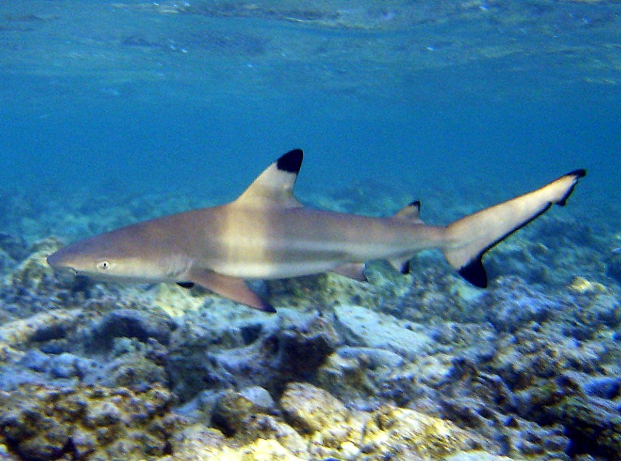 Niña de 6 años huye de un tiburón en playa de Hawái (video).