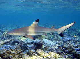 Carcharhinus melanopterus guam.jpg
