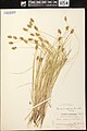 Carex crawfordii herbarium (3).JPG