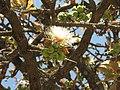 Careya Arborea016.jpg