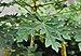 Carica papaya leaf 14072012.JPG