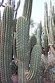 Caryophyllales - Carnegiea gigantea - 1.jpg