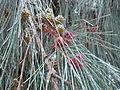 Casuarina equisetifolia 0005.jpg