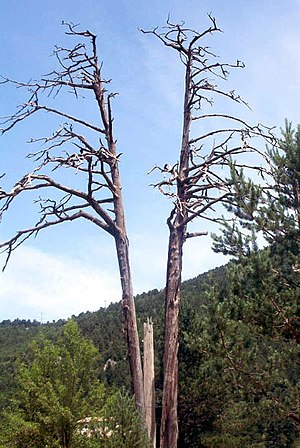 Castellar del Riu - Pi de les tres branques, considered a symbol of the united Catalan Countries