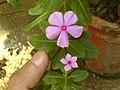 Catharanthus roseus (368807490).jpg