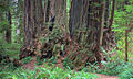 Cathedral Tree - Prairie Creek Redwoods State Park.jpg