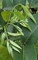 Catopsilia pomona eggs on cassia fistula.JPG