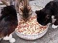 Cats Eating Pasta (4712261950).jpg