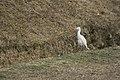 Cattle Egret in serach.jpg