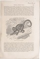Cebus capucinus - 1700-1880 - Print - Iconographia Zoologica - Special Collections University of Amsterdam - UBA01 IZ20200033.tif