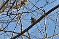 Cedar Waxwing (Bombycilla cedrorum) - London, Ontario 02.jpg