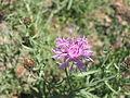 Centaurea maculosa 8-eheep (5097243465).jpg