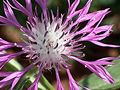Centaurea napifolia Sardinia LM19.jpg
