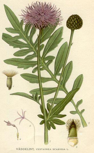 Centaurea scabiosa - Image: Centaurea scabiosa