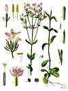 Centaurium erythraea - Köhler–s Medizinal-Pflanzen-058.jpg