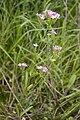 Centaurium erythraea coteau-charteves 02 12072007 1.jpg
