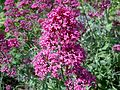 Centranthus ruber or Red Valerian at Ayr Citadel.JPG
