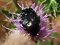 Cetoníinos - Flower chafer (7825622868).jpg
