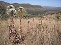 Cf Paepalanthus chiquitensis na Chapada dos Veadeiros - Goiás 2.jpg