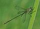 Chalcolestes viridis qtl3.jpg
