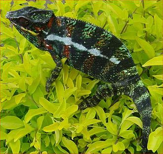 Fauna of Madagascar - Panther chameleon (Furcifer pardalis), a large chameleon which has adapted to man-made habitats.