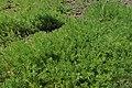 Chamaemelum nobile kz02.jpg