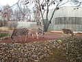 Chapman-Steppenzebra (Equus quagga chapmani) (2) (Zoo Dresden).JPG