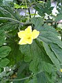 Charantia flower.jpg