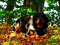 Cheeky Dog - panoramio.jpg