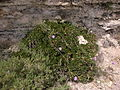 Cheirolophus crassifolius Malta Dingli Cliffs 01.jpg