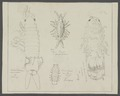 Chelura terebrans - - Print - Iconographia Zoologica - Special Collections University of Amsterdam - UBAINV0274 098 07 0007.tif