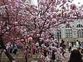 """Cherry-Blossom-Viewing through the """"Tunnel"""" at Japan Mint in 201504 028.JPG"""