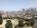Cherry blossoms in Sasayama Park 18.jpg