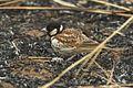 Chestnut-backed Sparrow-Lark - Gambia (32495694432).jpg