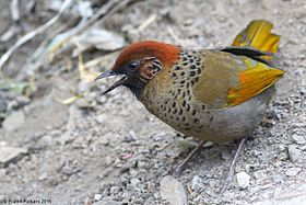 Chestnut-crowned Laughingthrush.JPG