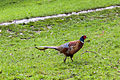 Chicken (7165931171).jpg