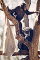 Chimp Climbing over Another (16835840294).jpg