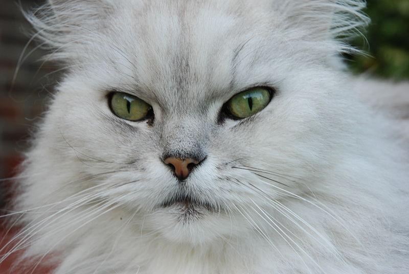 File:Chinchilla cat (537540620).jpg