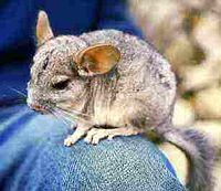 Chinchilla lanigera.jpg