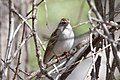 Chipping Sparrow (adult winter) San Pedro House Sierra Vista AZ 2014-03-19at13-07-323 (33930763548).jpg