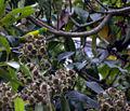 Chlorophonia cyanea -male-3.jpg